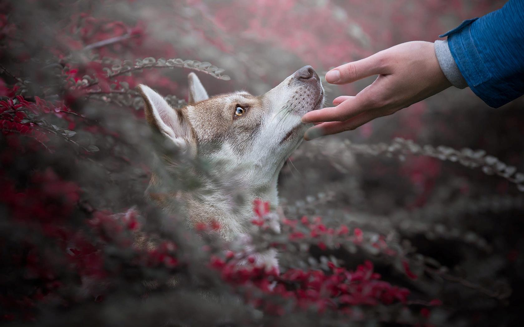 взгляд, ветки, природа, животное, рука, собака, голова, профиль, хаски, пёс