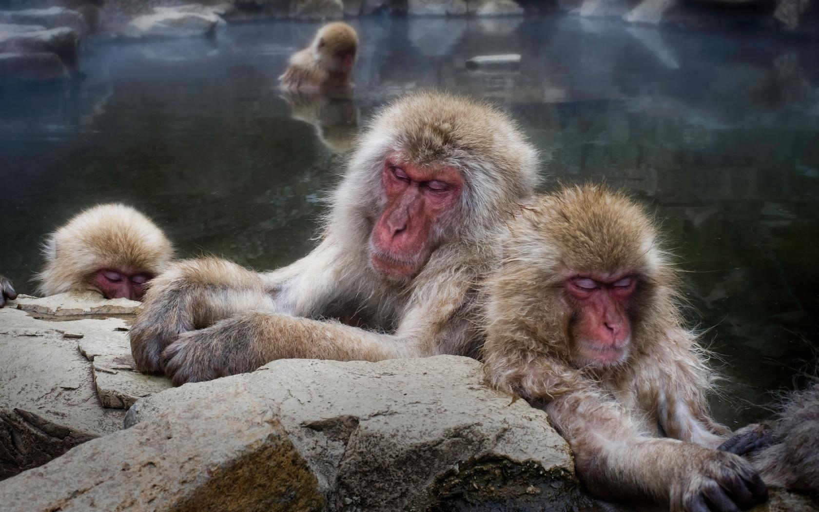обезьяны, вода, japanese macaque, животные