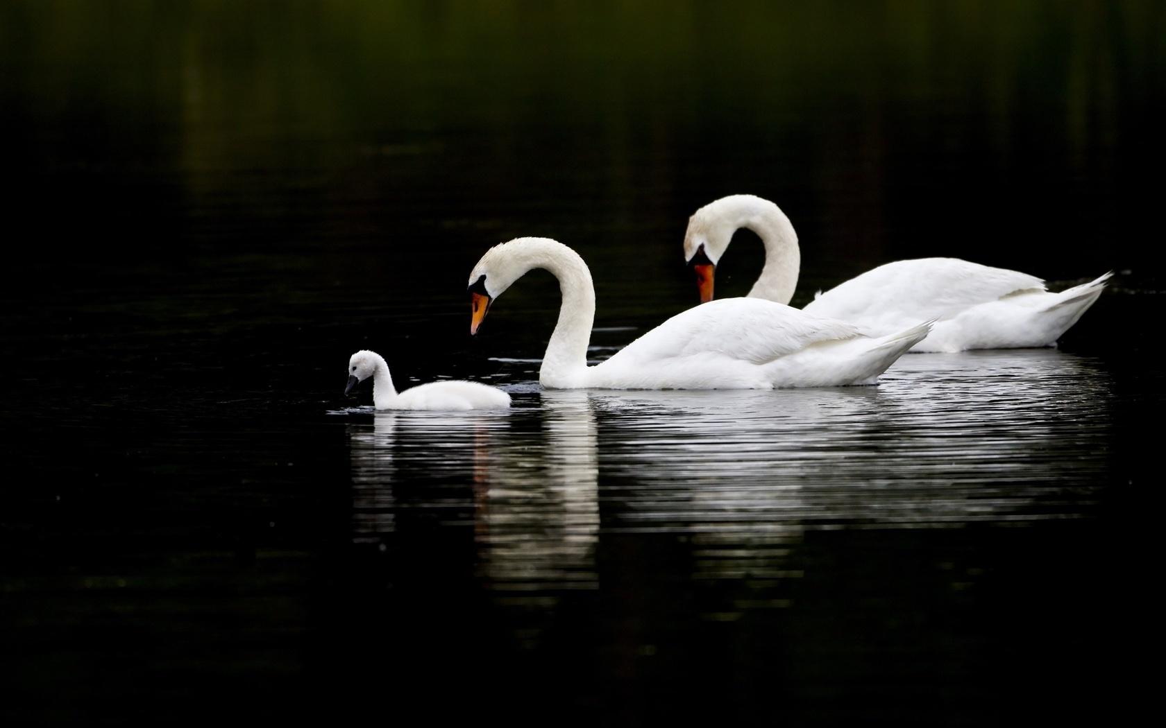 три, лебедя, озеро, черный, фон