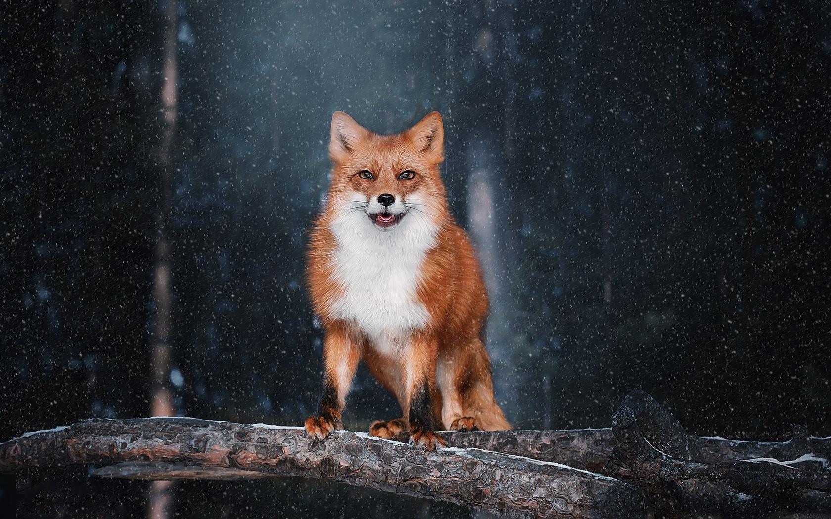 лиса, рыжая, зима, снег
