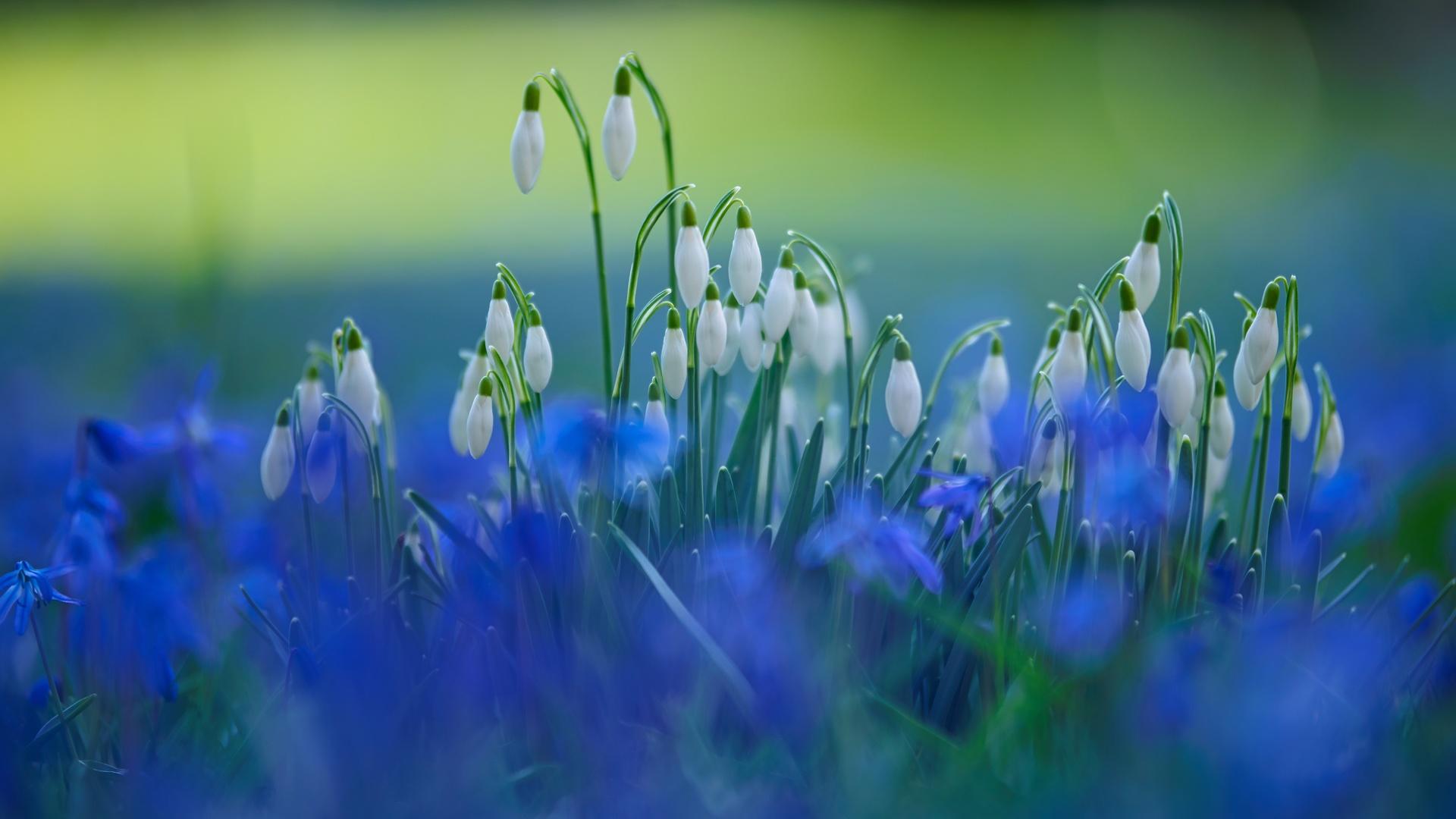 подснежники, весна, цветы