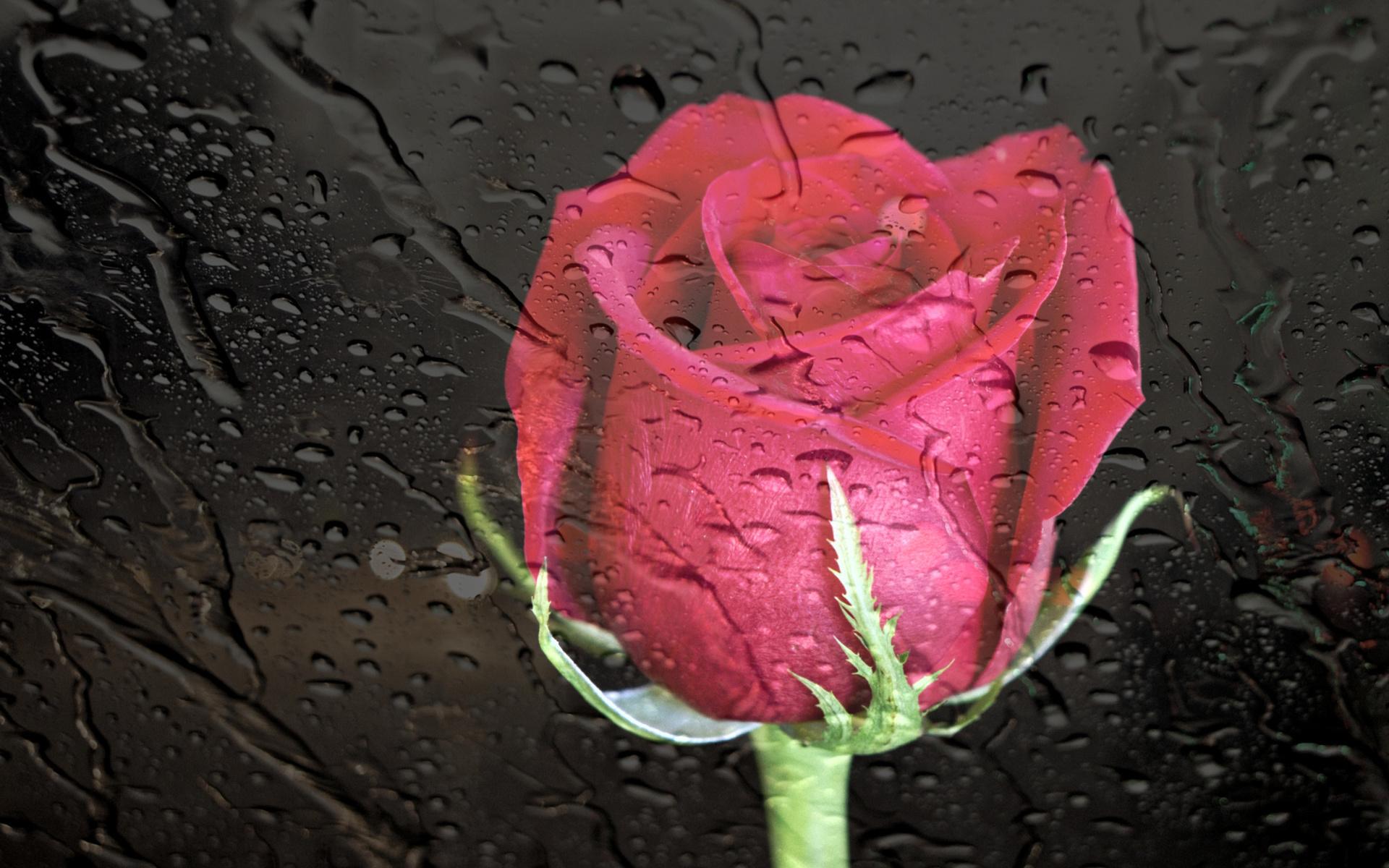 стекло, дождь, роза