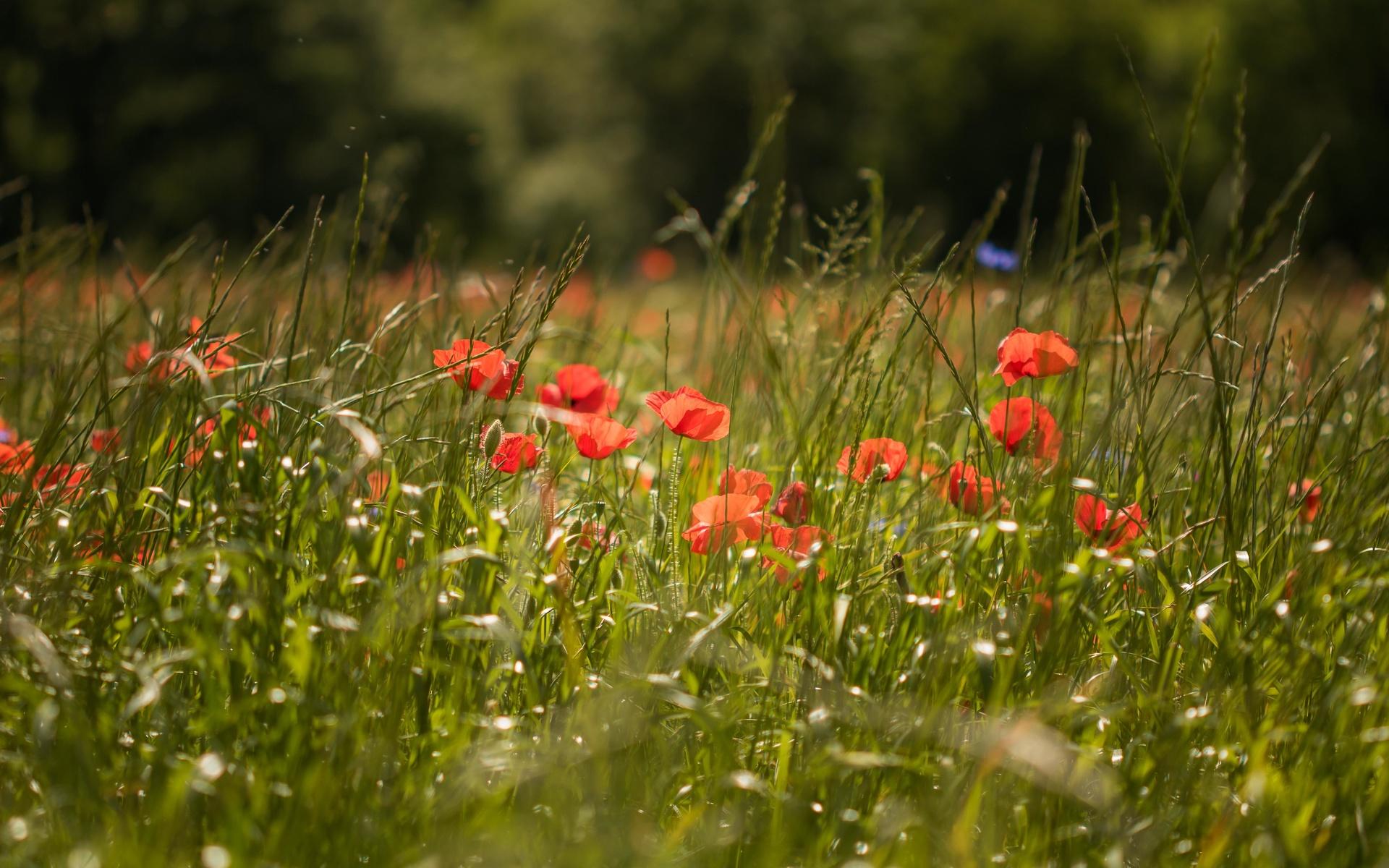 мак, цветы, трава, зелень