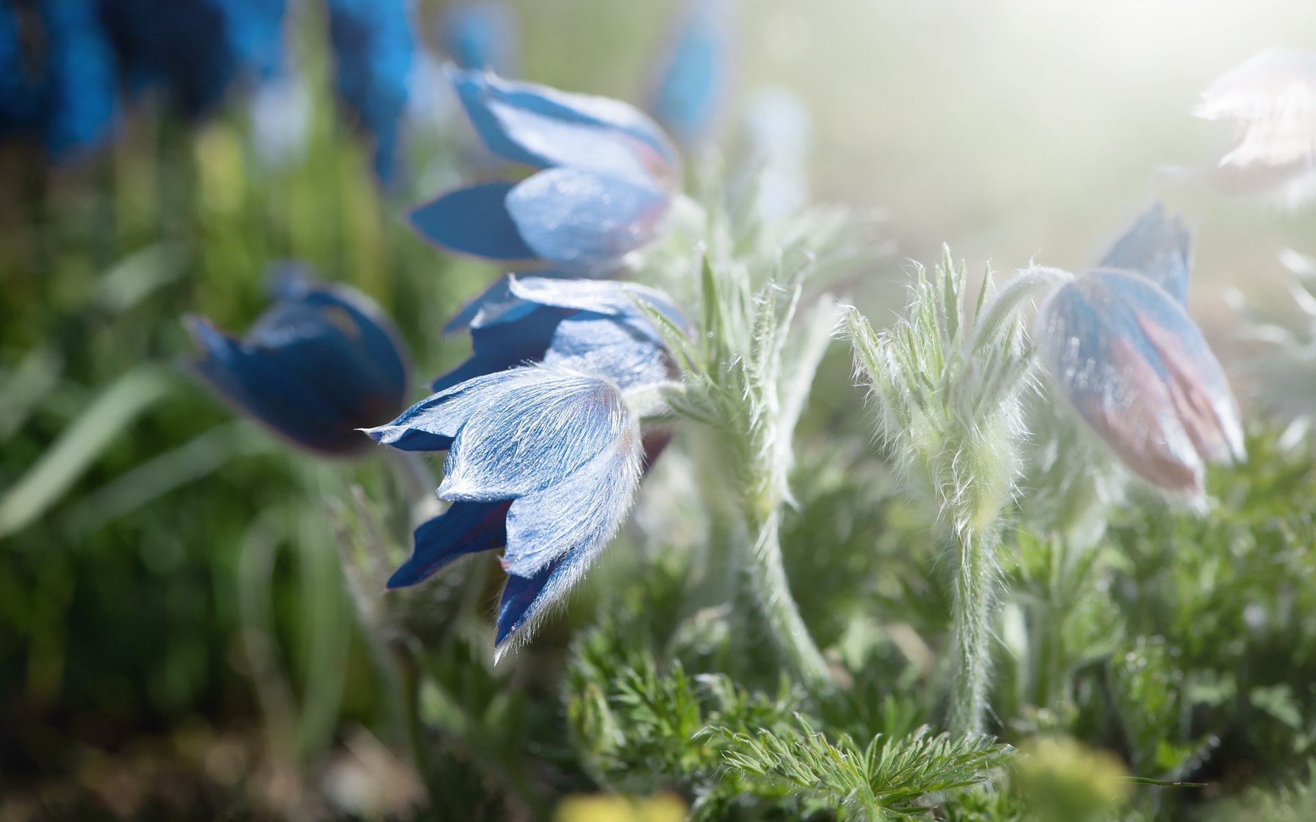 прострел, синий, цветы