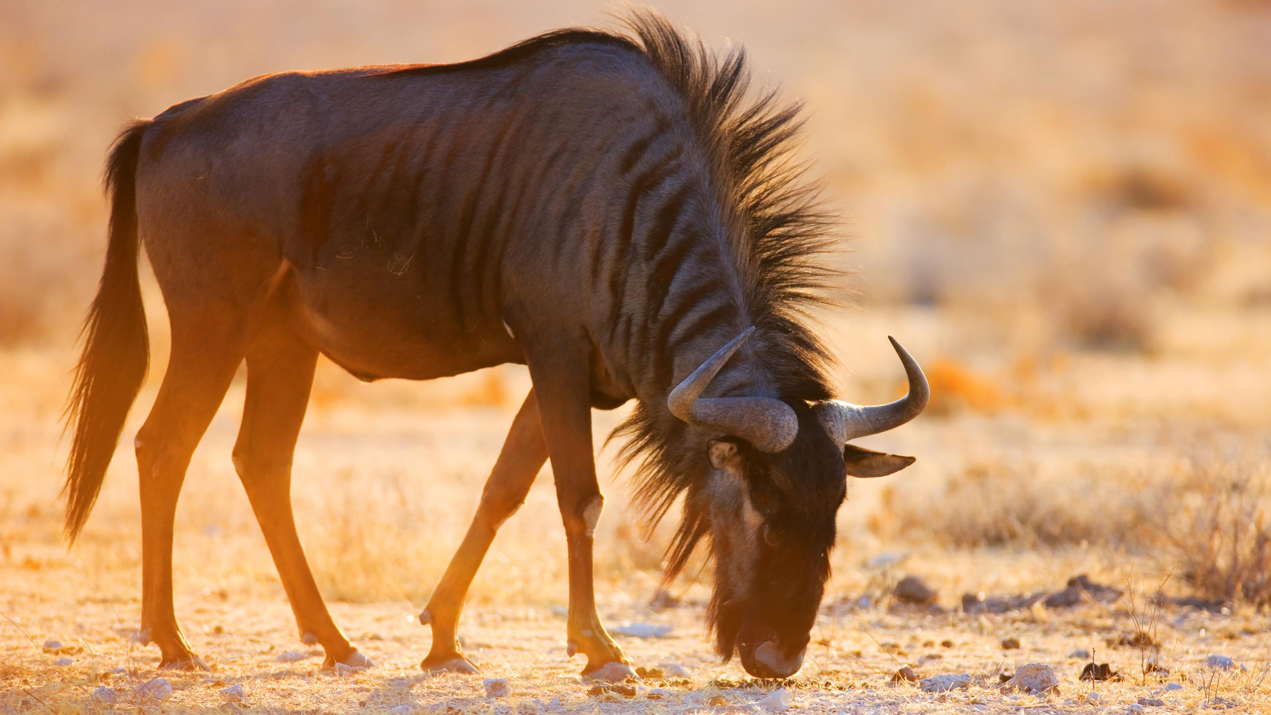 животное, антилопа гну