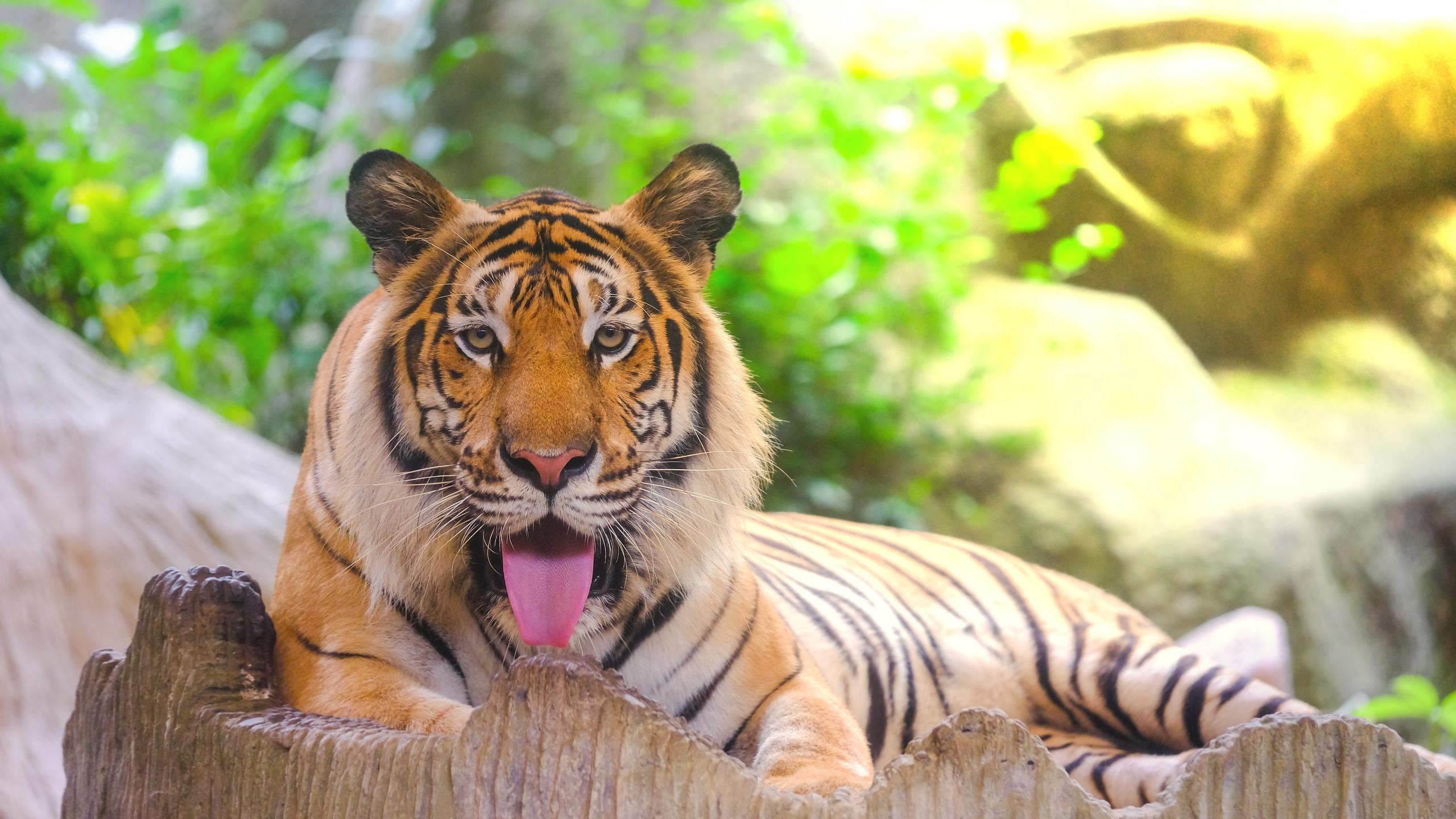 тигр, взгляд, большая кошка, хищник