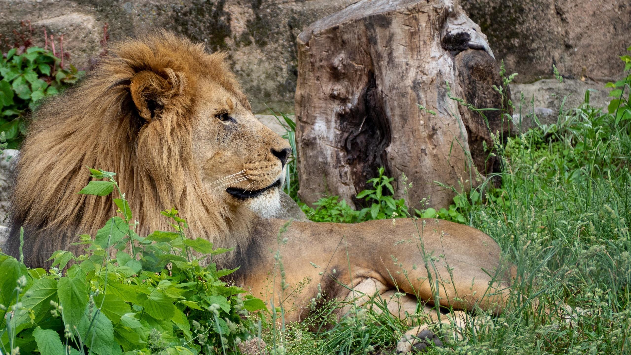 лев, царь зверей, большая кошка, животное