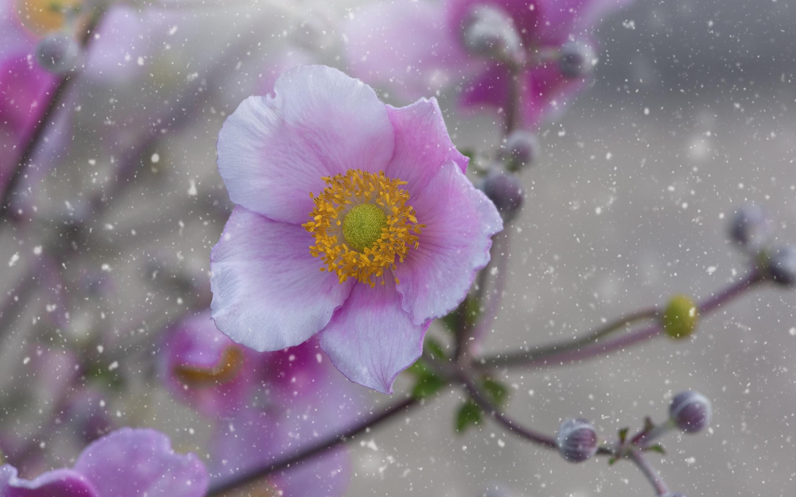 анемоны, розовый, цветы
