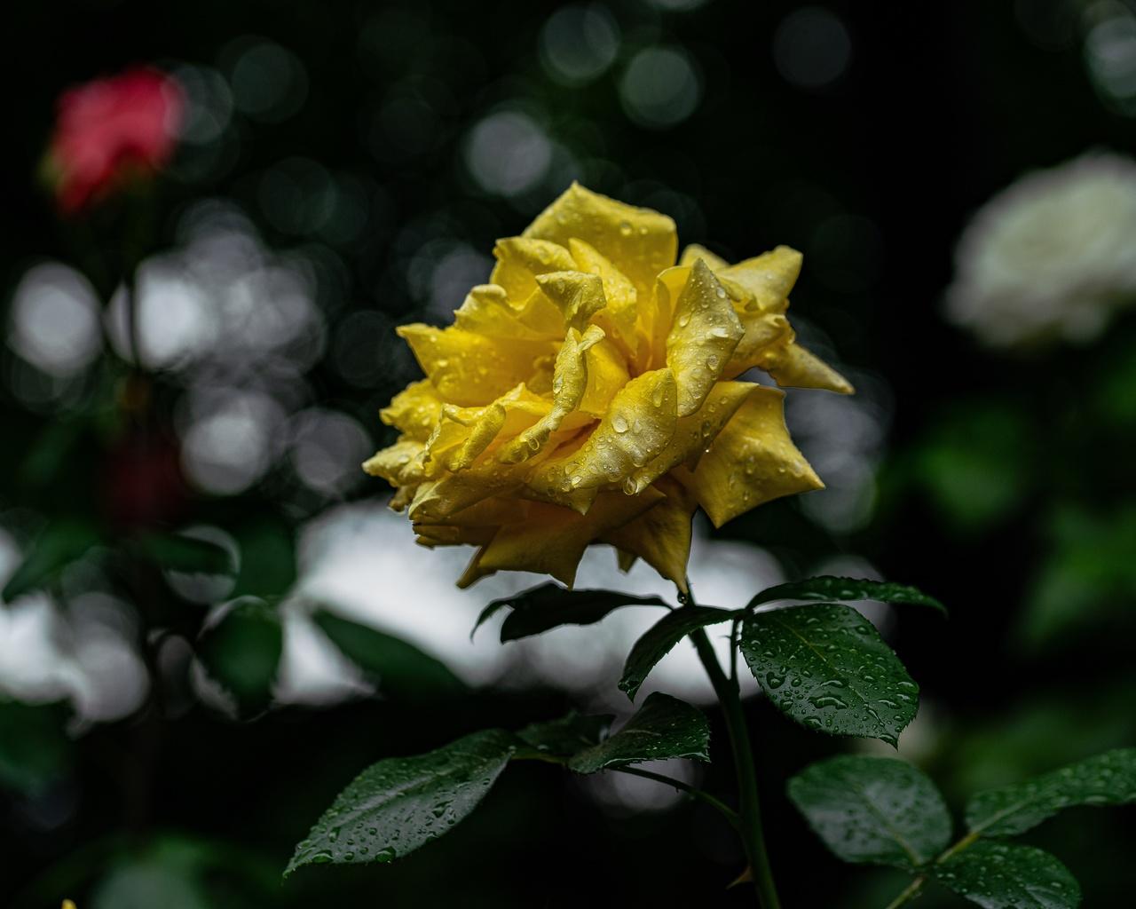 желтый, цветок, роза