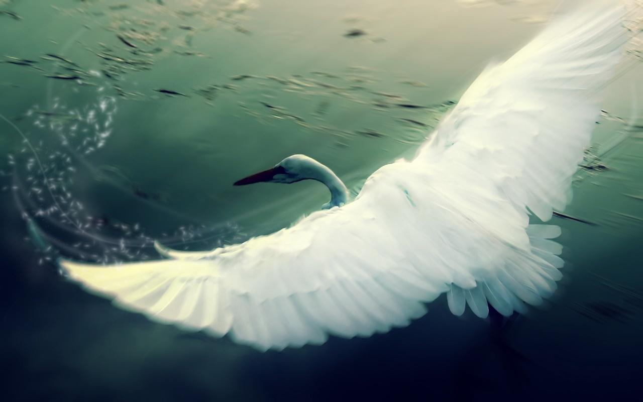 белый лебедь, летит, крылья, озеро