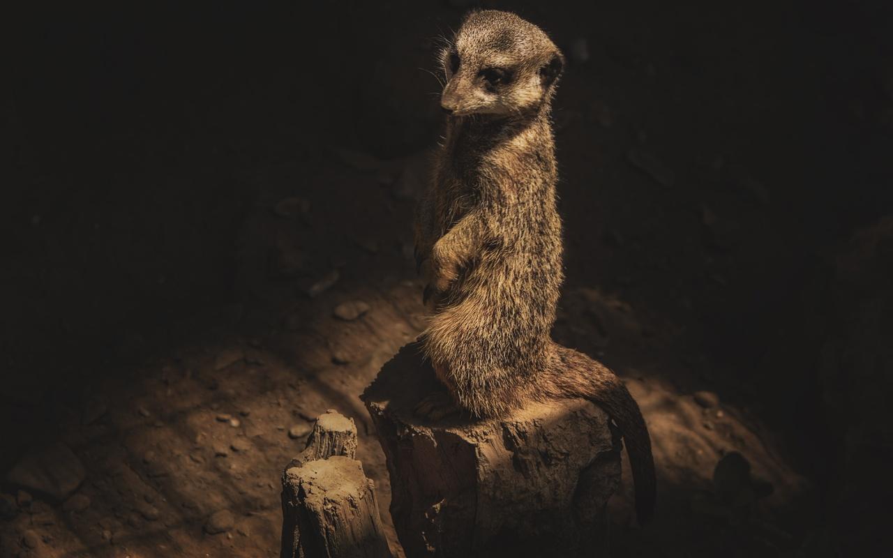 сурикат, животное, млекопитающее