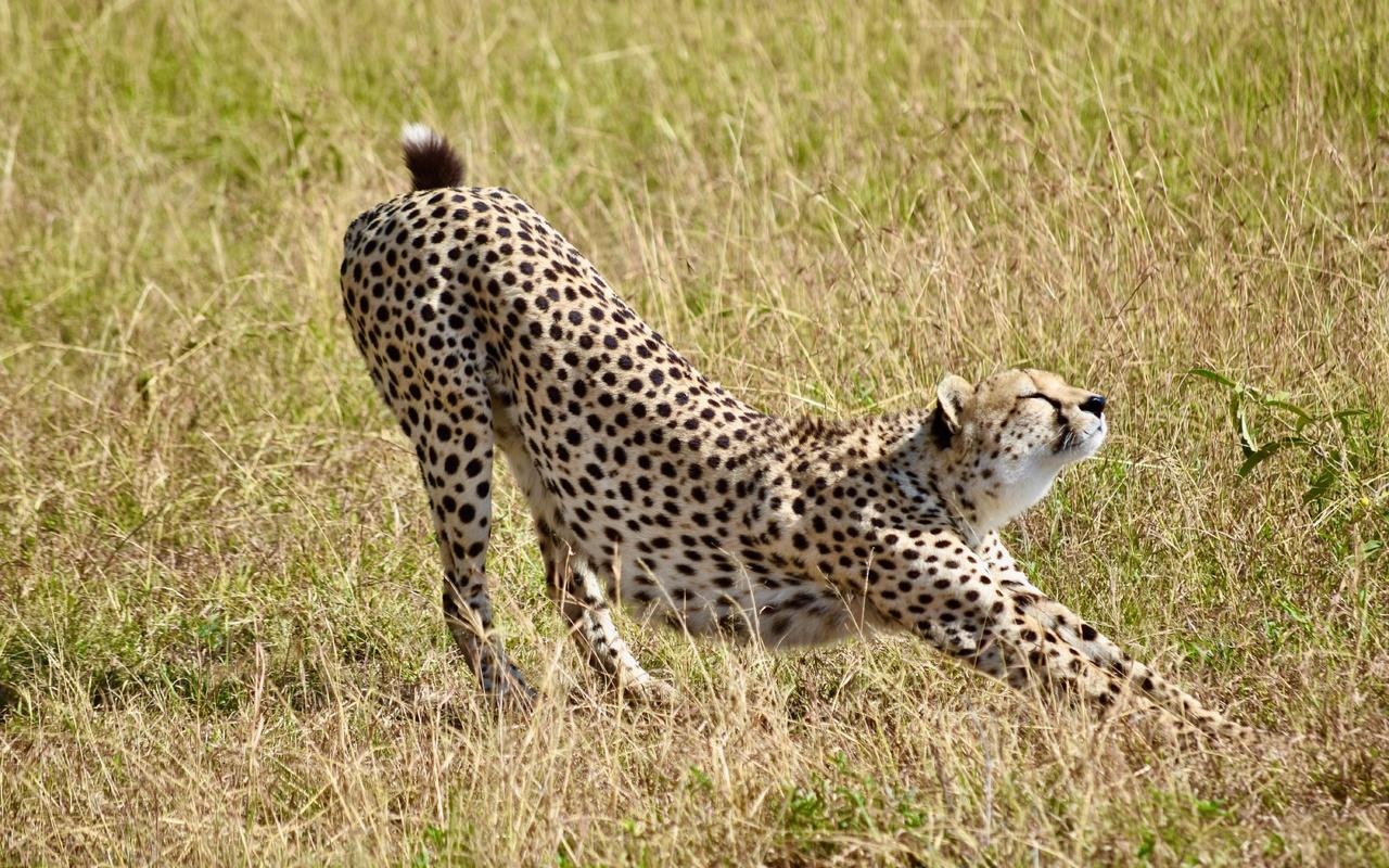 гепард, большая кошка, хищник, трава