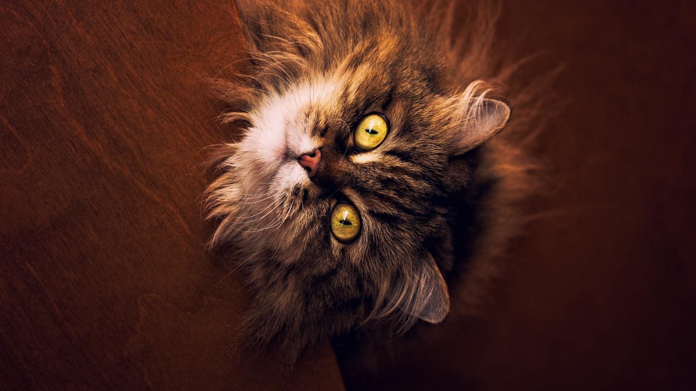 пушистый, серый, кот