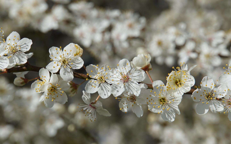 цветы, белый, дерево, весна, март