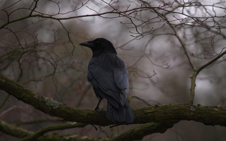дерево, ветки, птица, клюв, перья, ворон