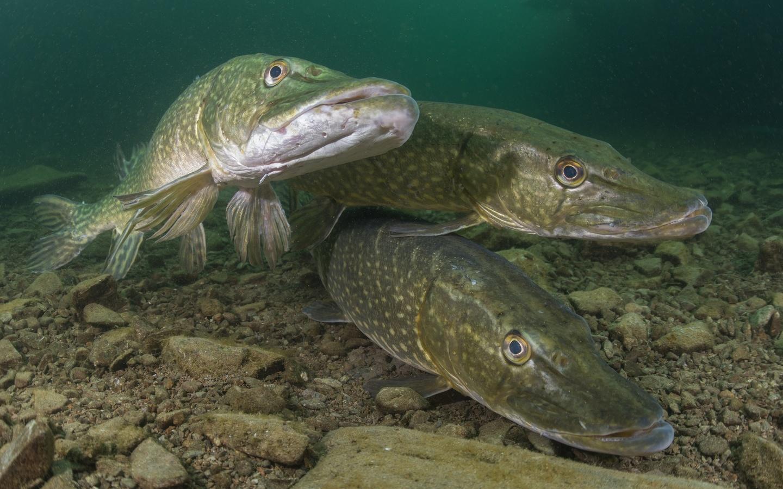 река, рыба, фото, под водой, хищник, щука