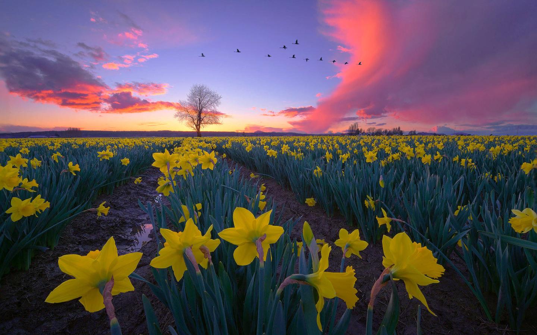 поле, пейзаж, цветы, птицы, природа, дерево, рассвет, весна, утро, сша, нарциссы, skagit valley