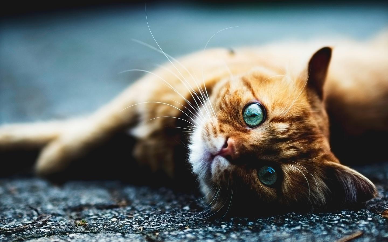 голубоглазый, рыжий, кот, лежит