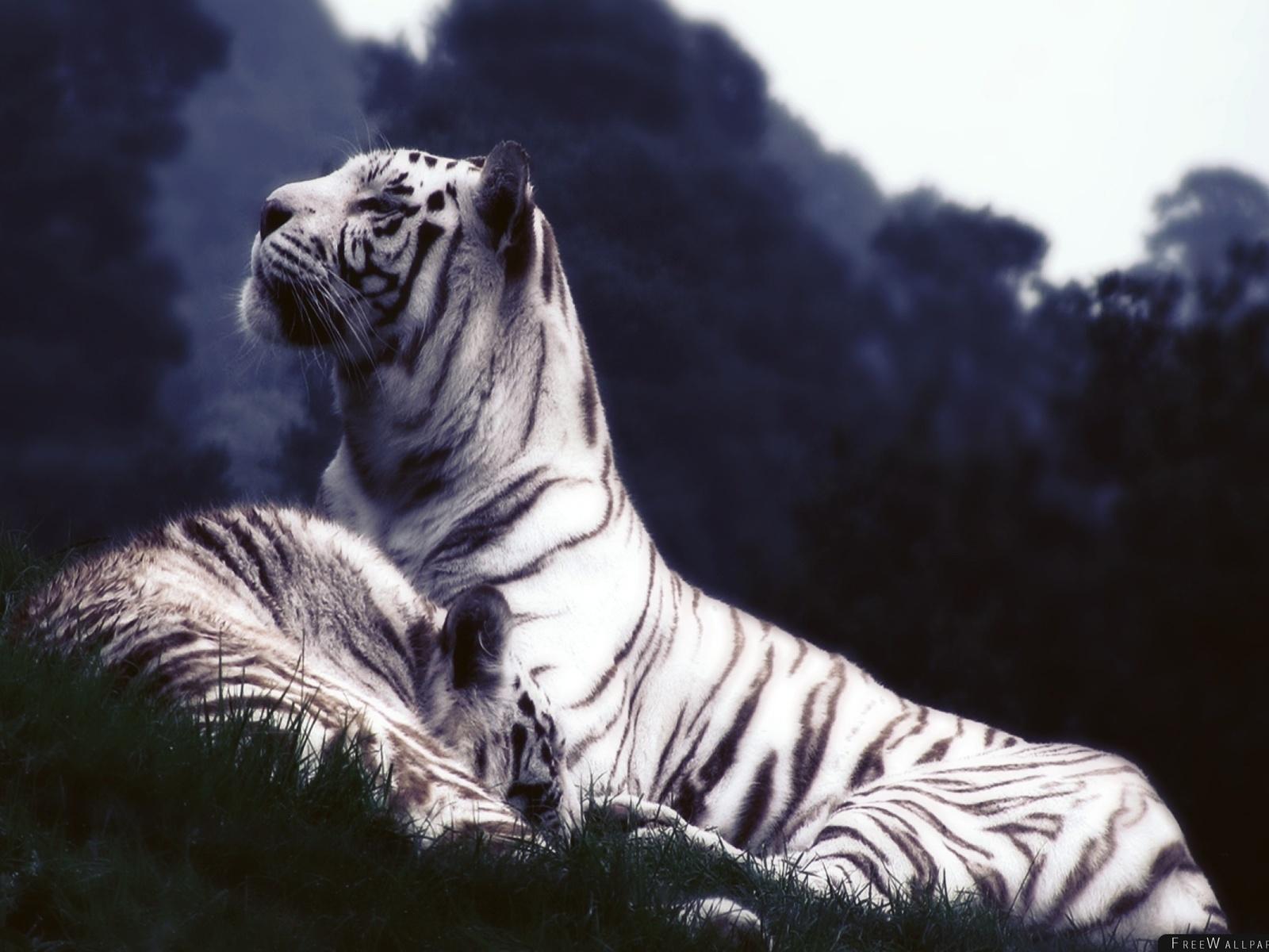 белые тигр, отдых, трава, сумерки