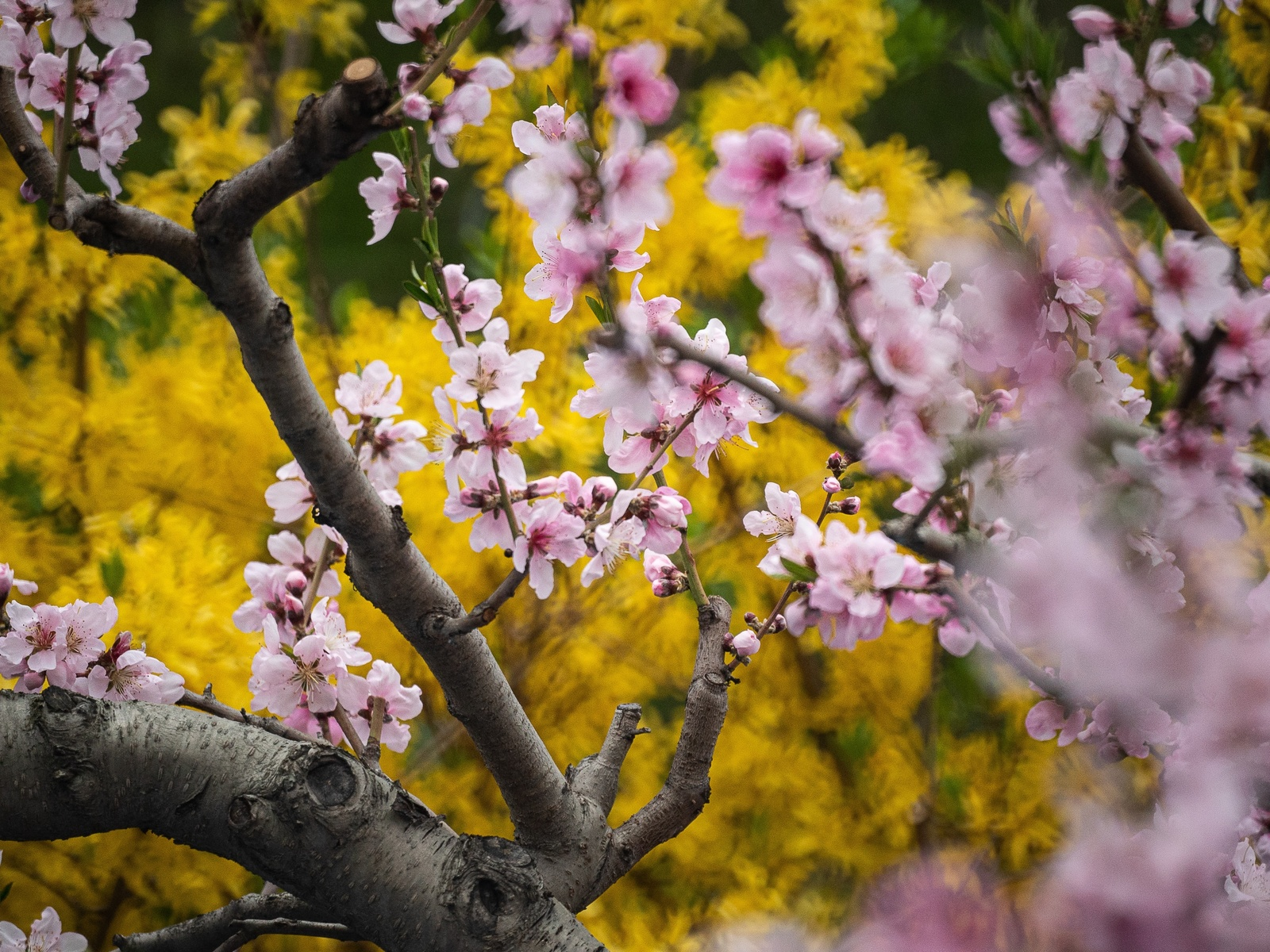 вишни, желтый, весна, дерево, цветы, природа