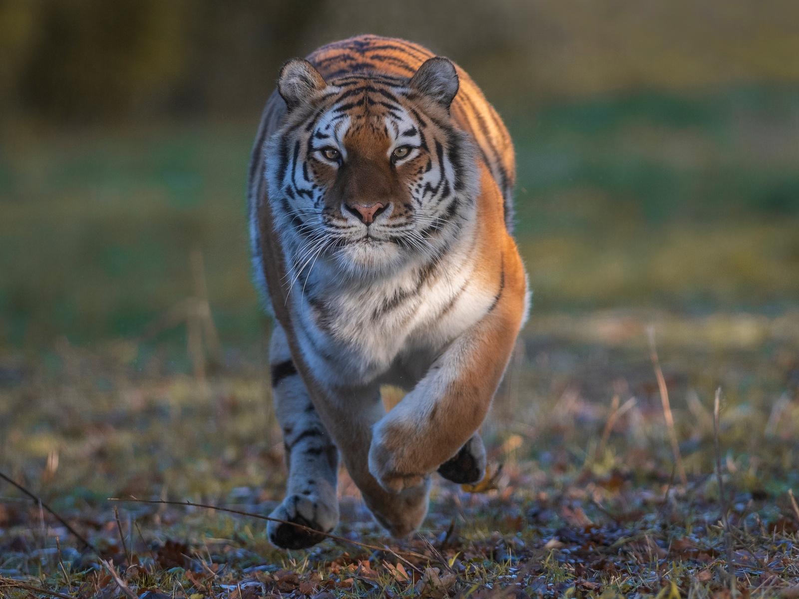 тигры, бег, взгляд, животные