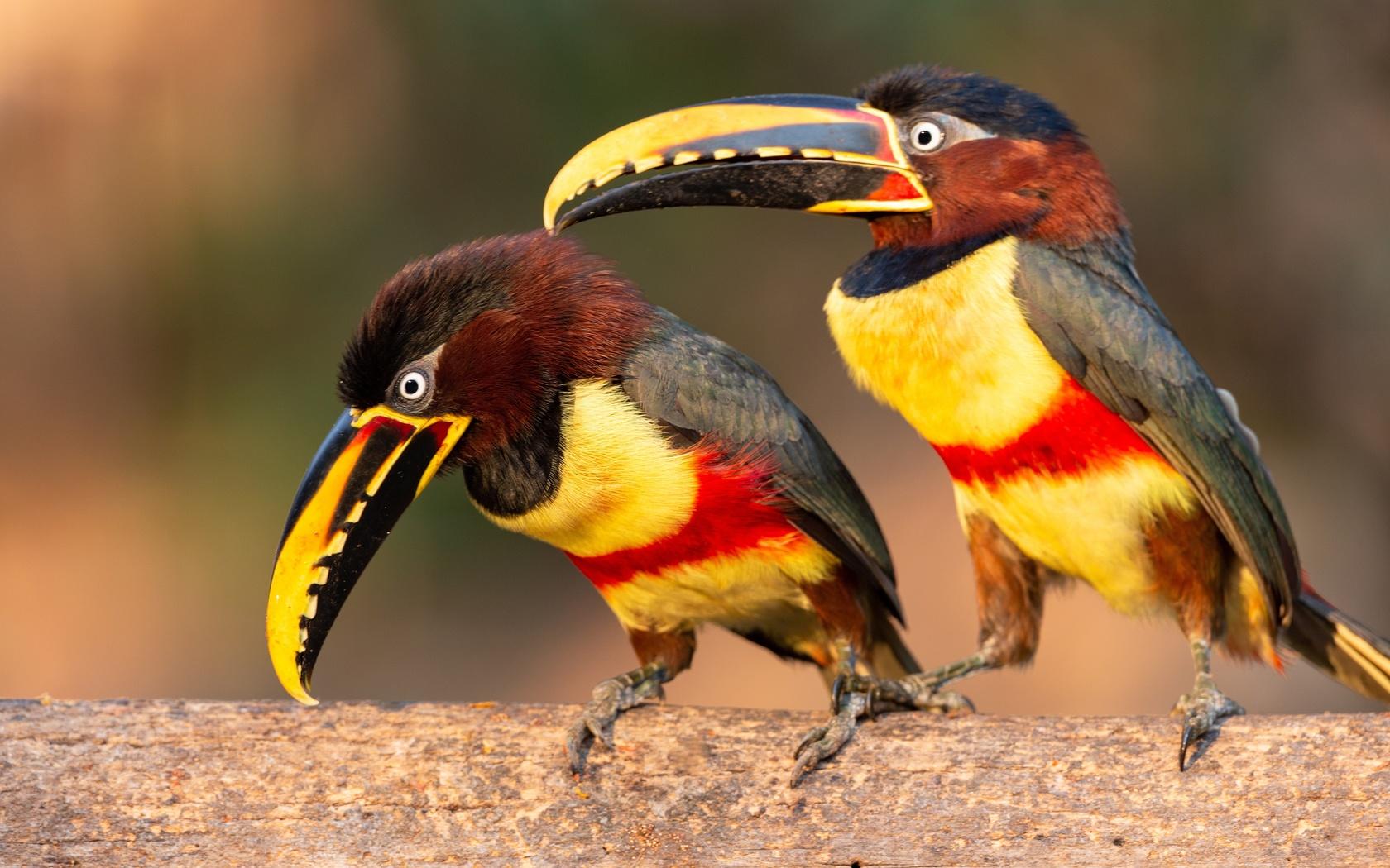 птицы, тукан, pteroglossus, castanotis, двое, клюв, животные