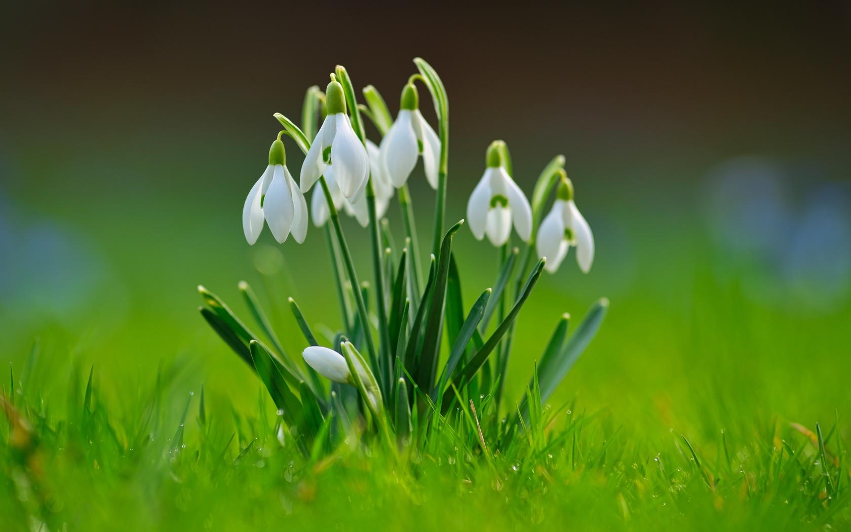 подснежники, размытый фон, трава, белый, цветы