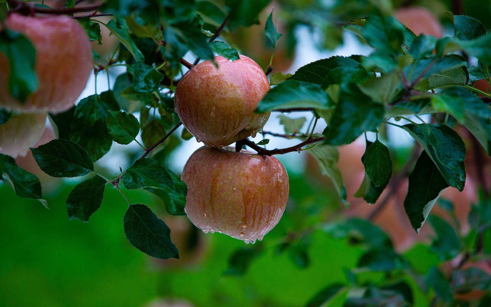 Яблоко, дождь, вкусно