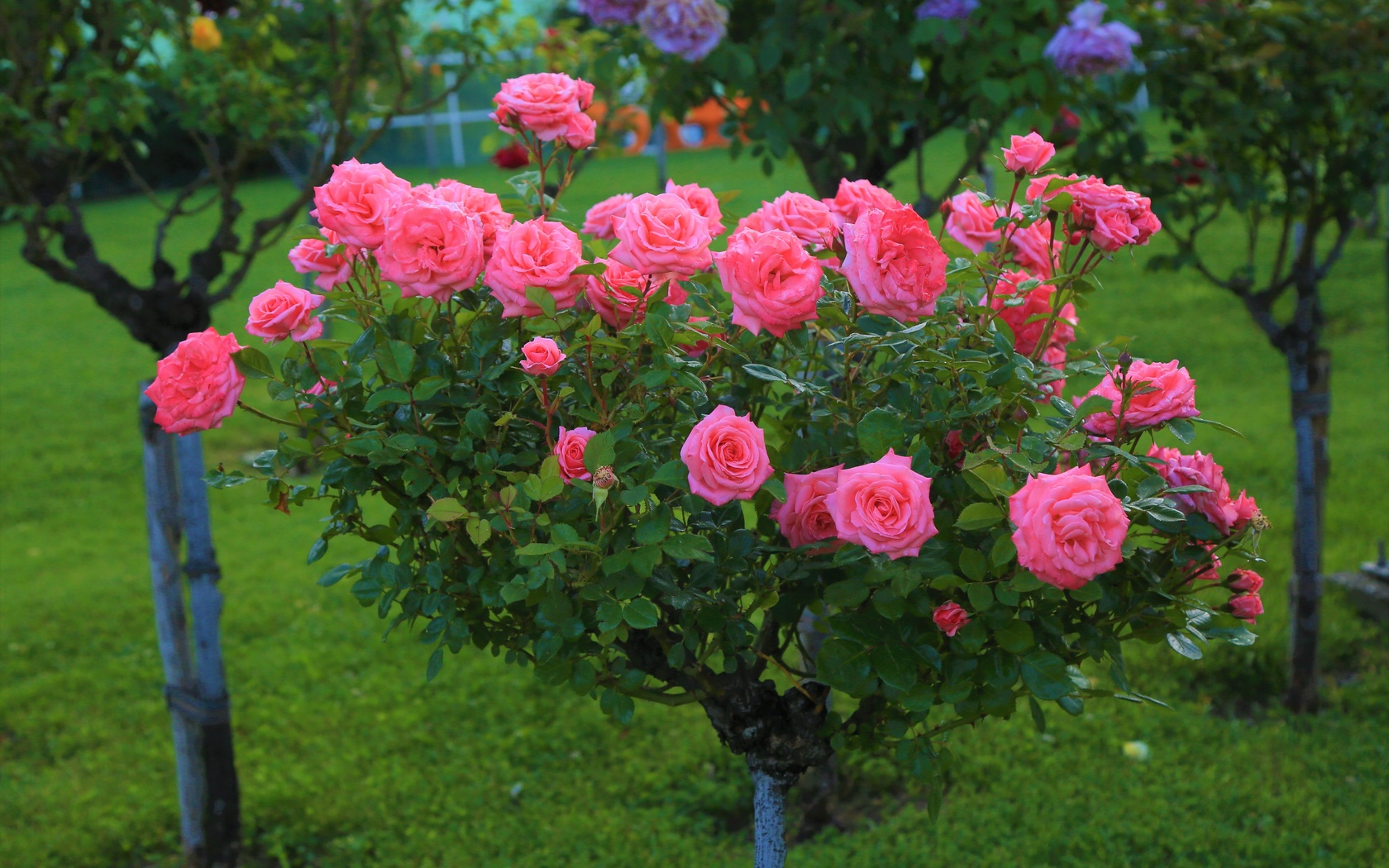розовый, розы, сад