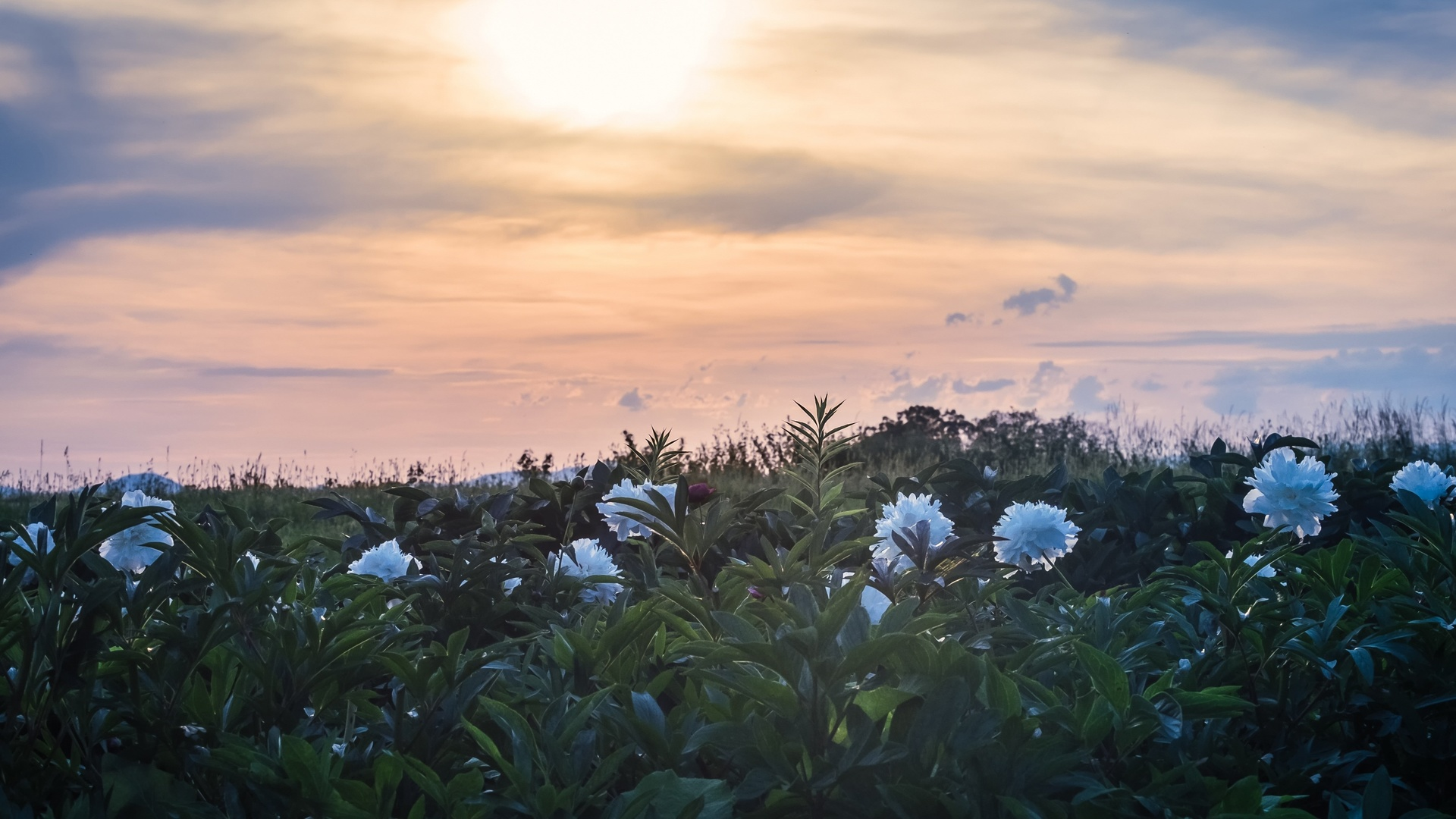 пион, цветение, сансет, сумерки, природа