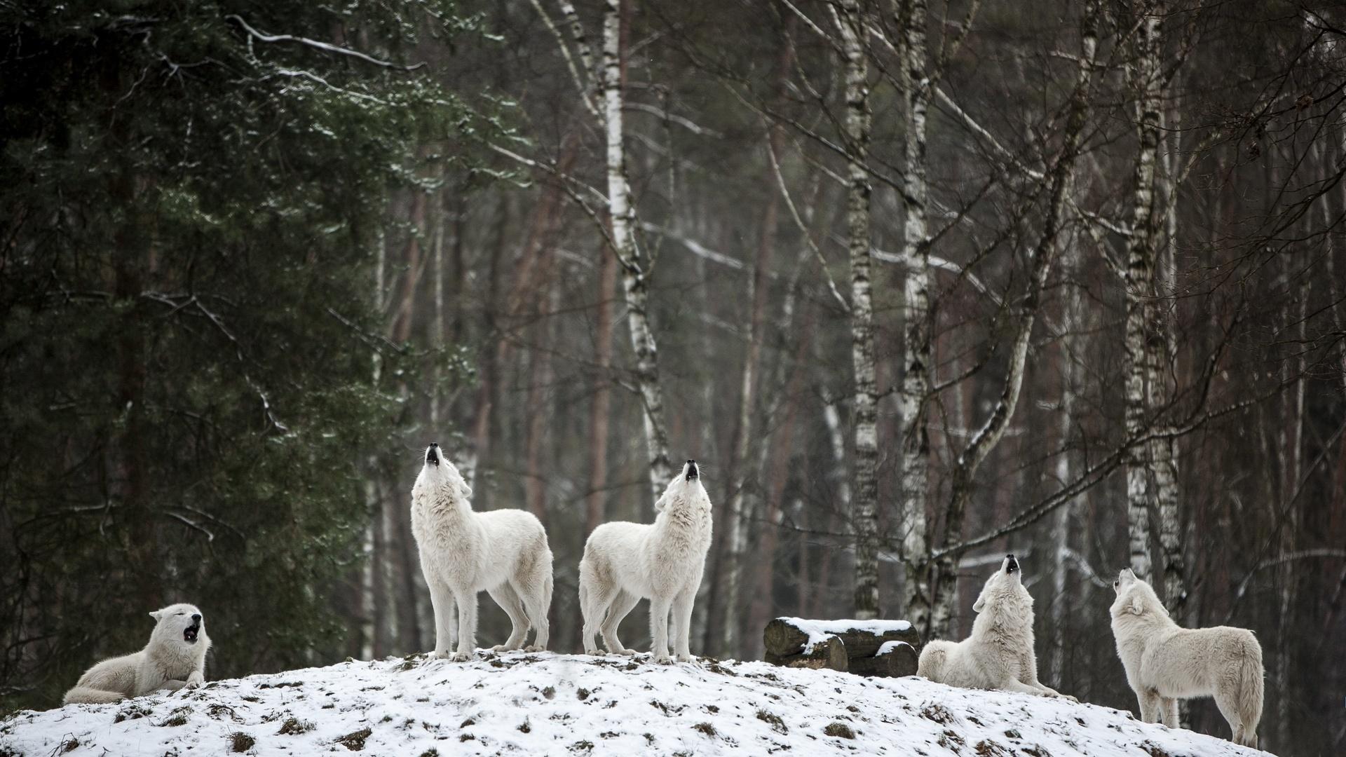 волк, стая, зима, снег
