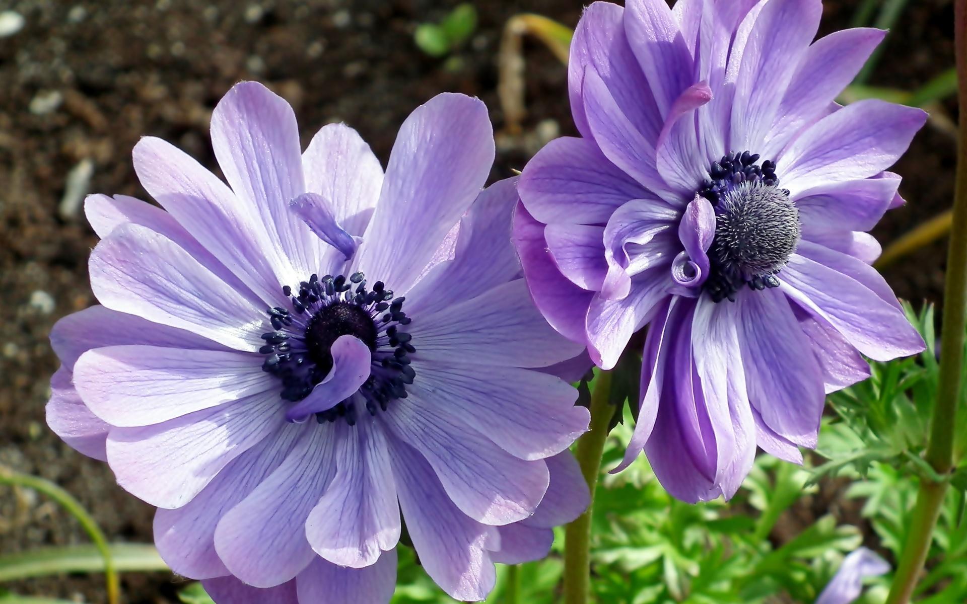 два, синих, цветка, анемоны