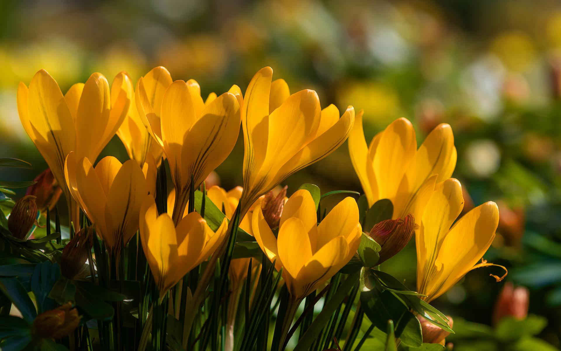 крокусы, крупным планом, желтый, цветы