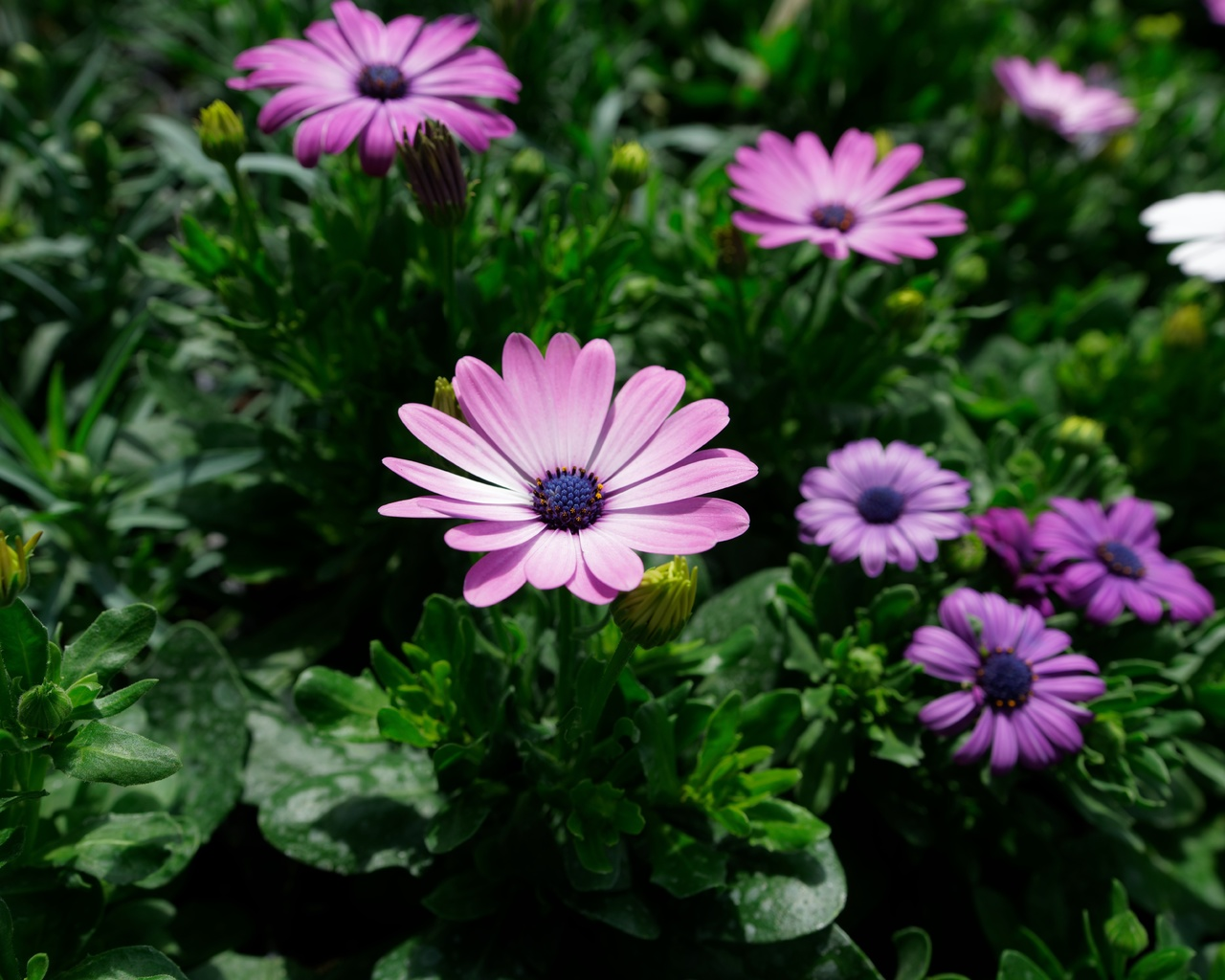 остеоспермум, фиолетовый