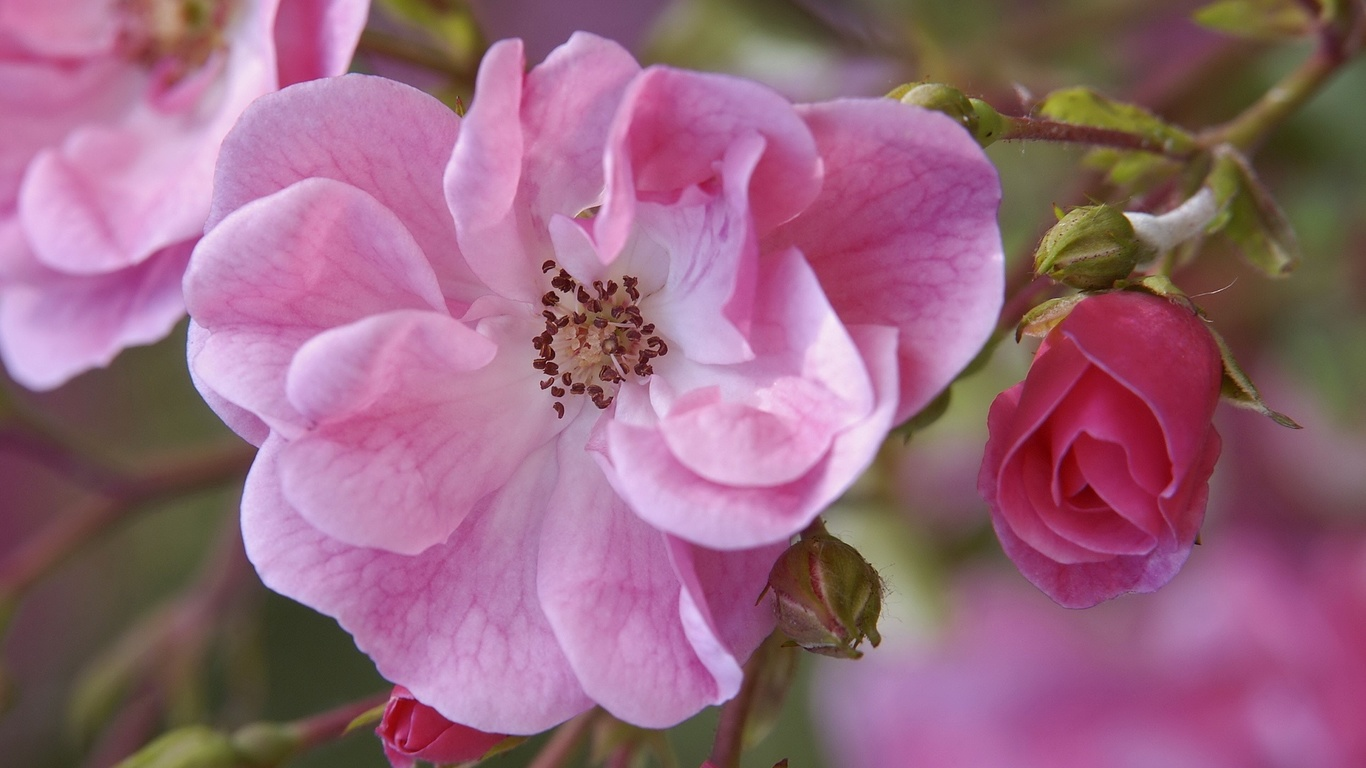розовая, роза, цветок