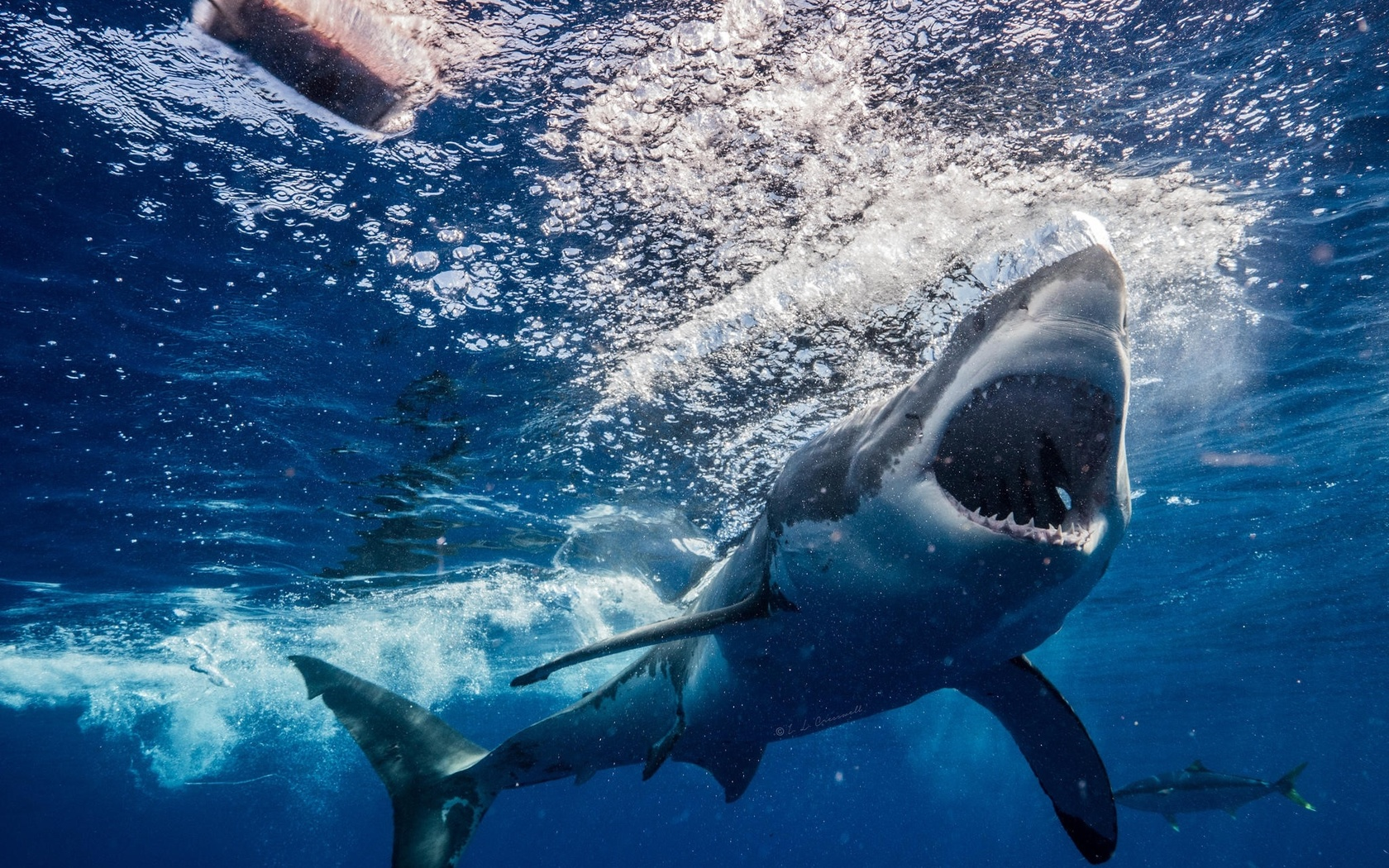 белая акула, хищник, рыба, акула, фото, под водой, тунец, приманка