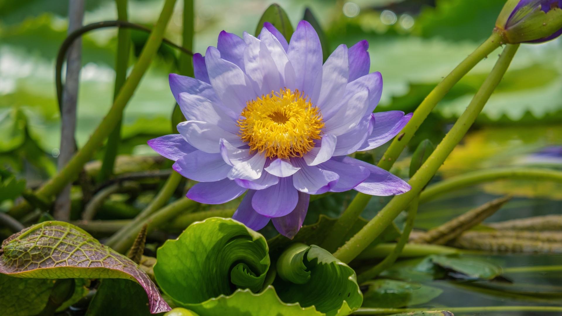 лотос, фиолетовый, цветы