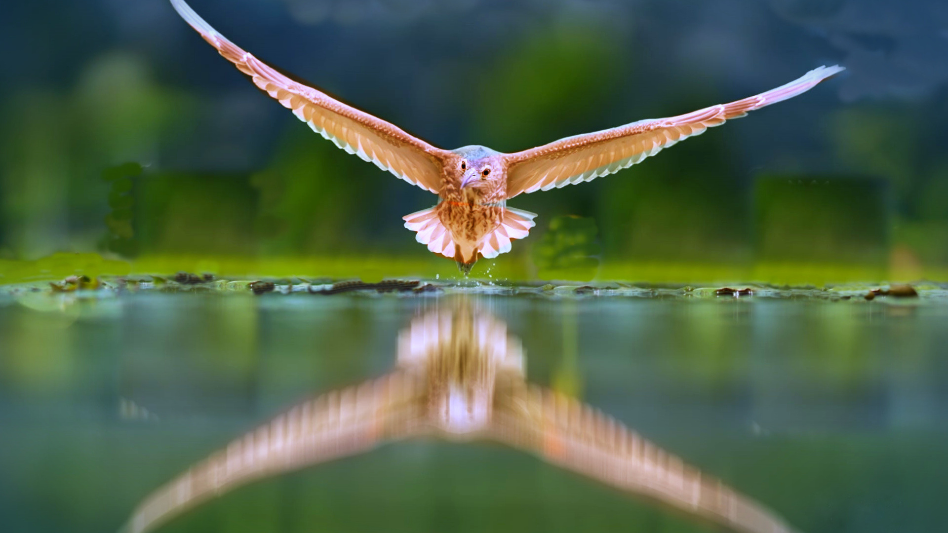 полет, вода, отражение, крылья