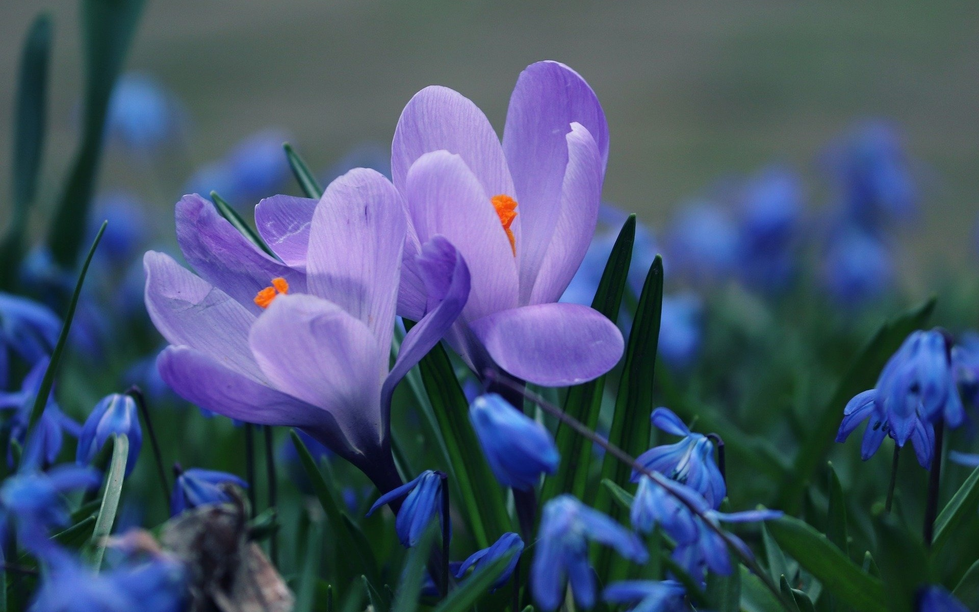 природа, весна, первоцветы, подснежники, крокусы