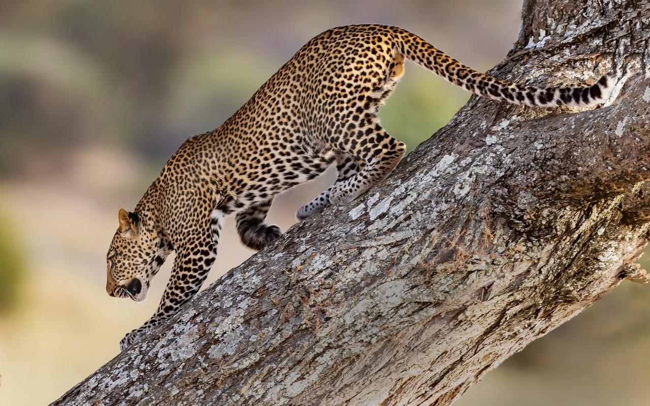 леопард, дерево, хищник
