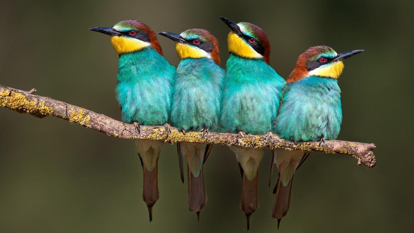 птицы, merops apiaster, ветка, Четыре