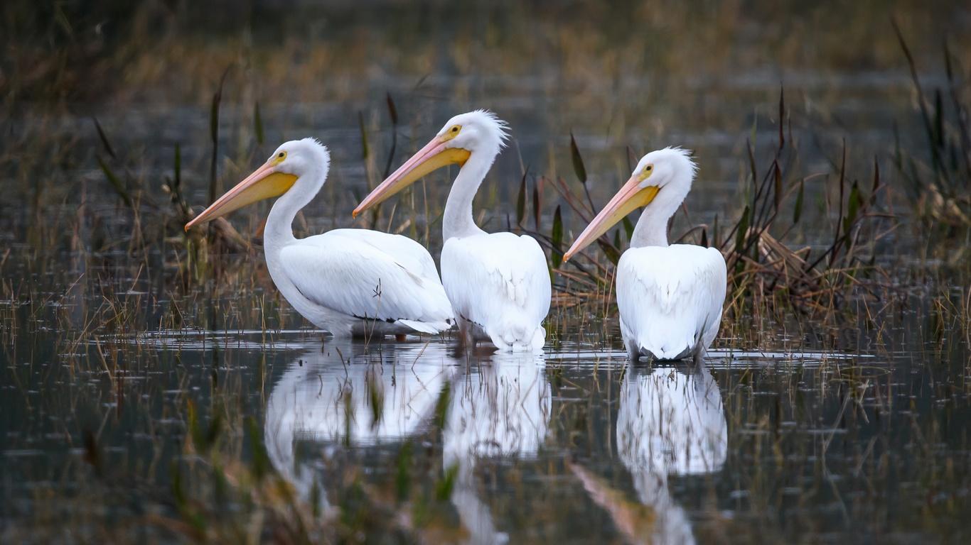 три, белых, цапли, охотятся, в воде