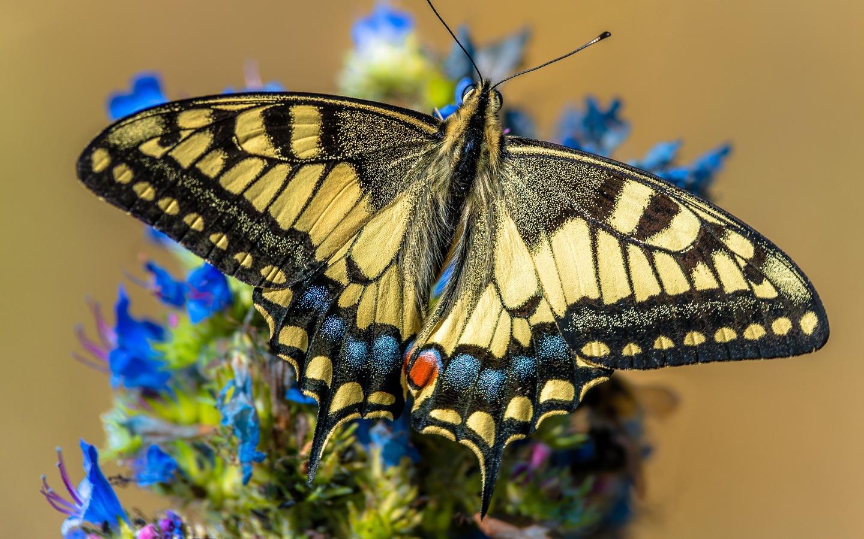 бабочка, крупным планом, papilio machaon