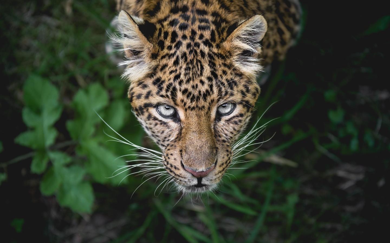 леопард, морда, взгляд, усы