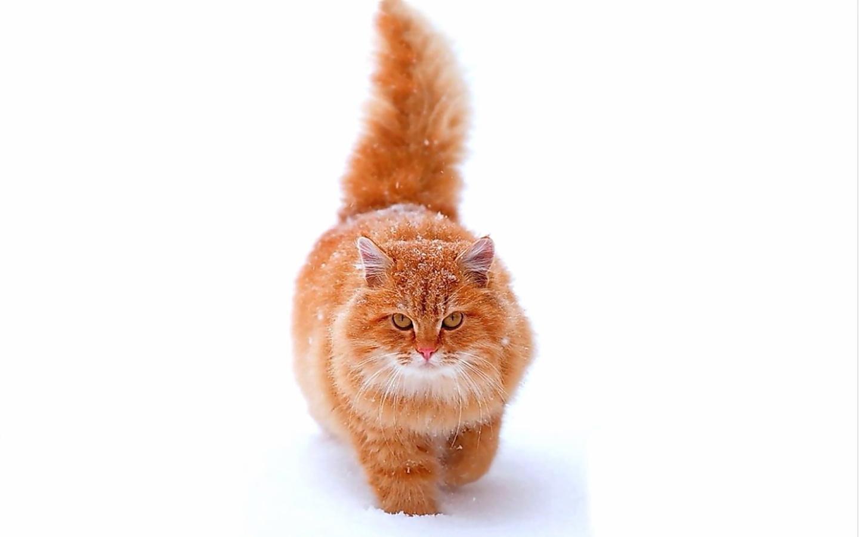 животные, кот, васька, мой, вам, приветик, )))))