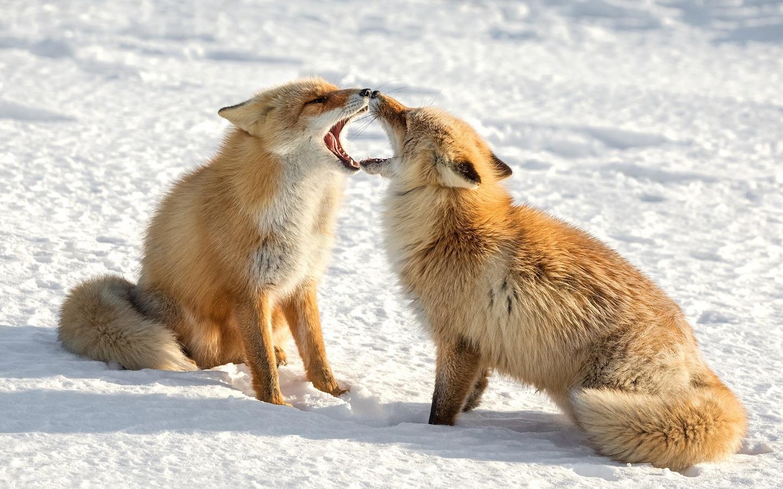 лисы, двое, снег, животные