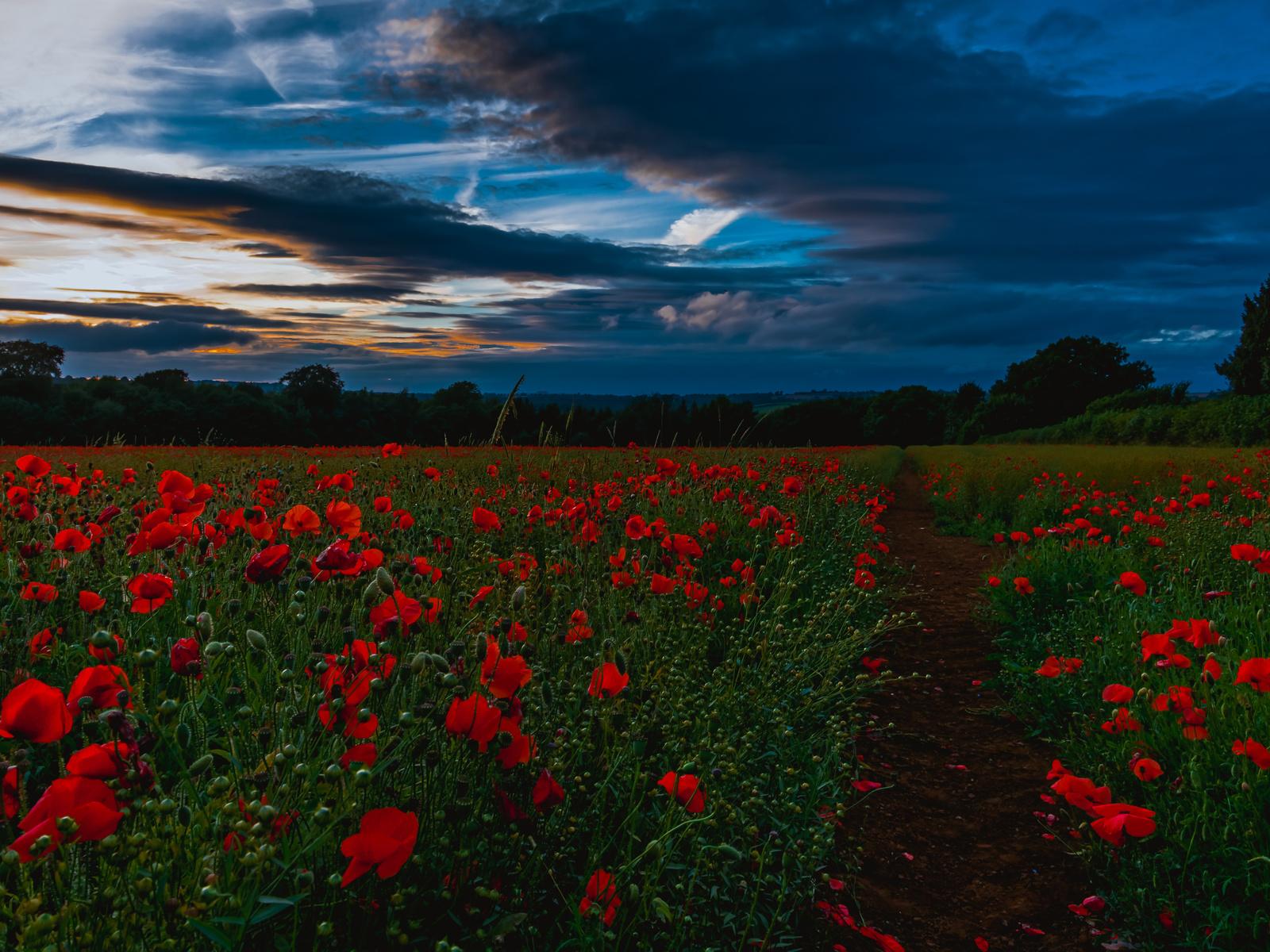 полевые цветы, трава, вечер, природа