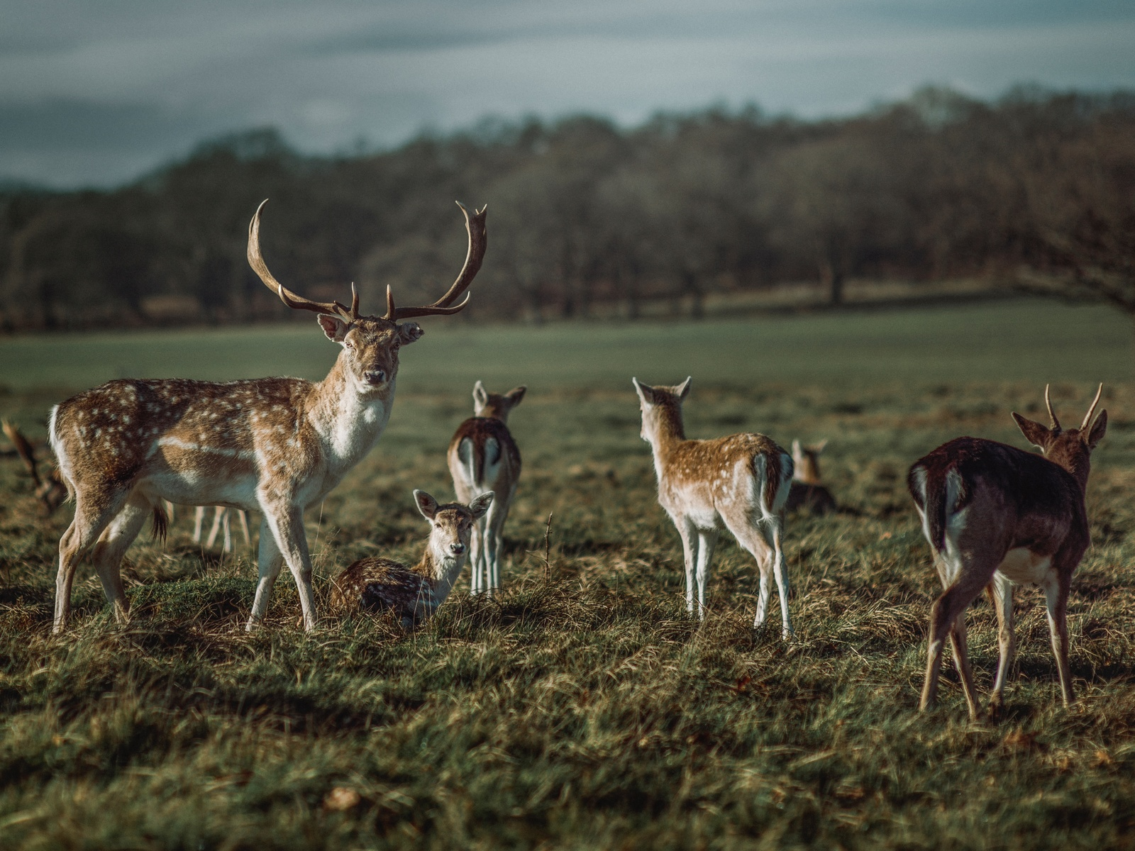 олени, пастбище, поле, природа, рога