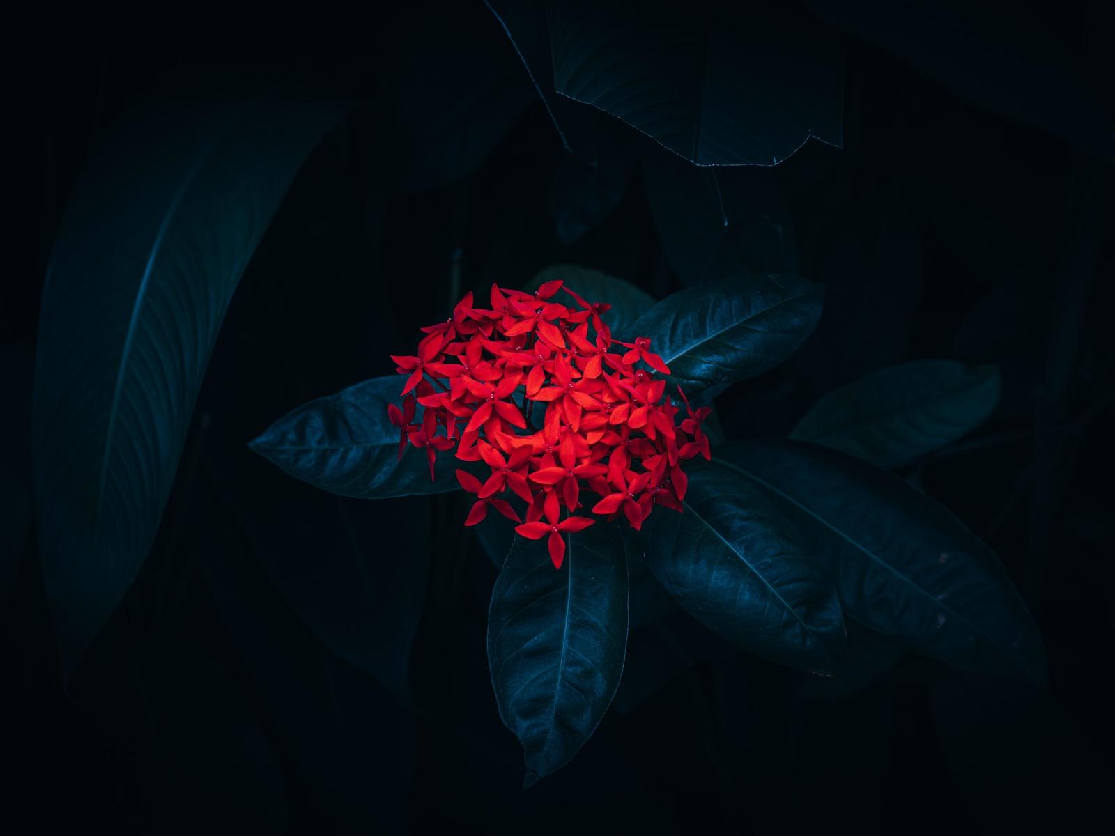 иксора, цветок, листья, растение