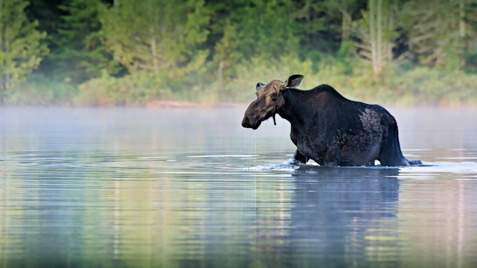 лось, река, животные